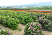 札幌の花畑